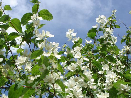 Zagare in fiore - Colosimi (677 clic)