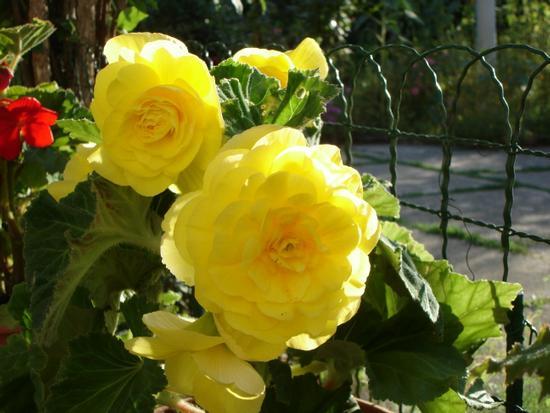 Begonia - Colosimi (833 clic)