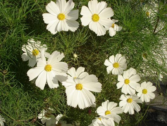 Fiori di Cosmea bianca - Cosenza (1179 clic)