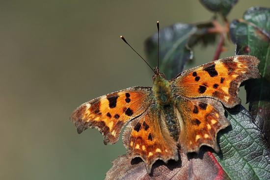 Farfalla - Vigone (622 clic)