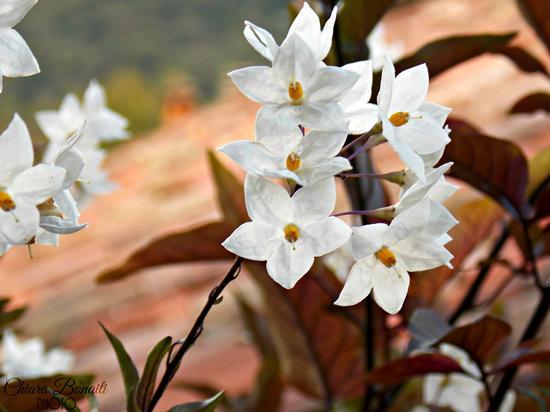 flowers - San giovanni bianco (327 clic)