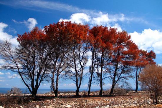 La pineta bruciata - Otranto (876 clic)
