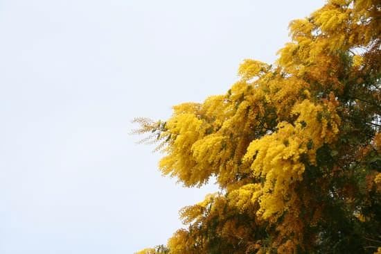 Gentile Mimosa - Niscemi (3503 clic)