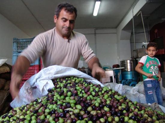 Macina delle olive in un'oleificio di Niscemi (6321 clic)