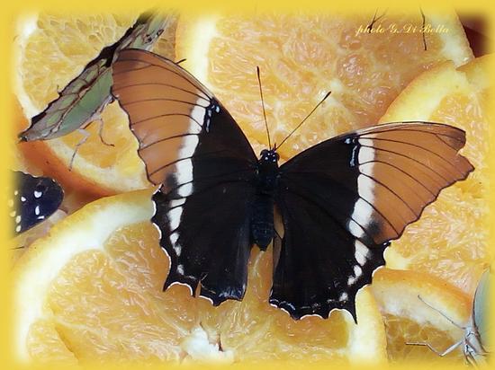 Il giardino delle farfalle a palazzo Riso - Palermo (152 clic)