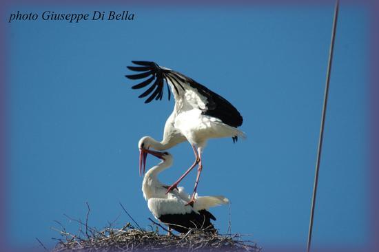 lE CICOGNE AL LAGO ARANCIO :Un momento dell'accoppiamento...Il bacio....! - Sambuca di sicilia (468 clic)