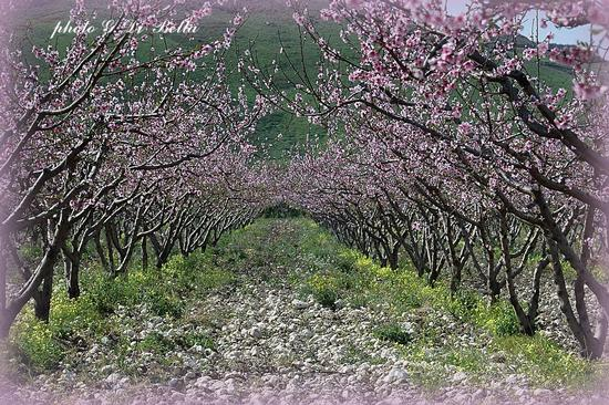 Fiori rosa ....fiori  di pesco....! - Menfi (679 clic)