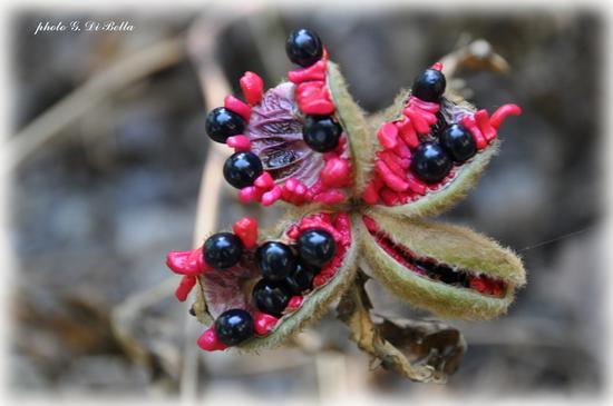 uno strano fiore a Monte Genuardo - Sambuca di sicilia (664 clic)
