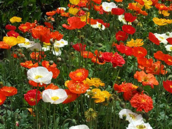 Prato fiorito - Avezzano (997 clic)