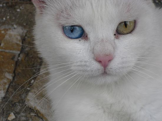 Occhi bicolore - Avezzano (1170 clic)
