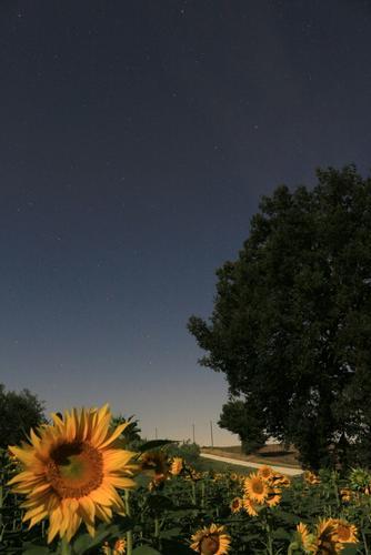 girasoli di notte - Montefano (687 clic)
