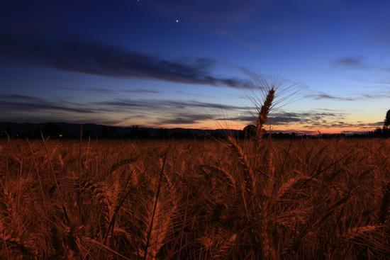 Campo di grano nella notte - Fiamenga (844 clic)