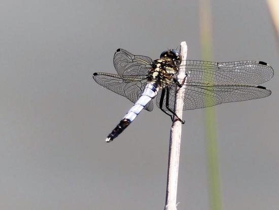 Dragonfly - Marano lagunare (331 clic)