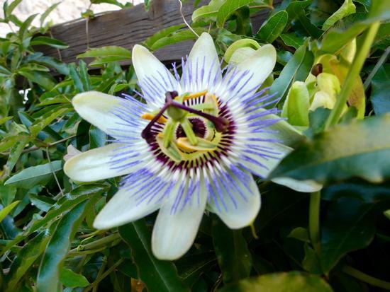 Passiflora caerulea - Besenello (435 clic)