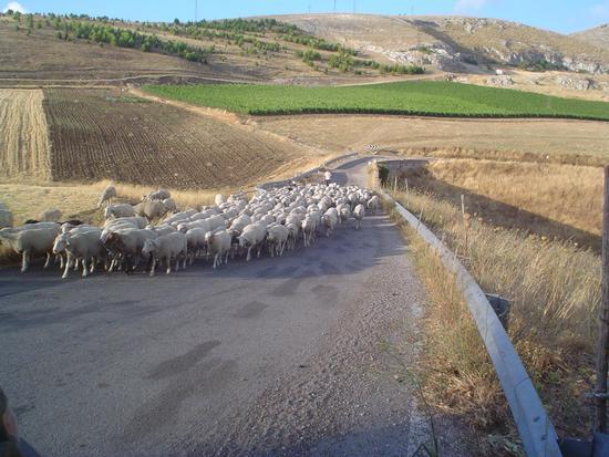 Pecore! - Corleone (2357 clic)