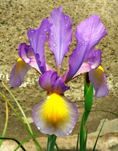 iris (1114 clic)
