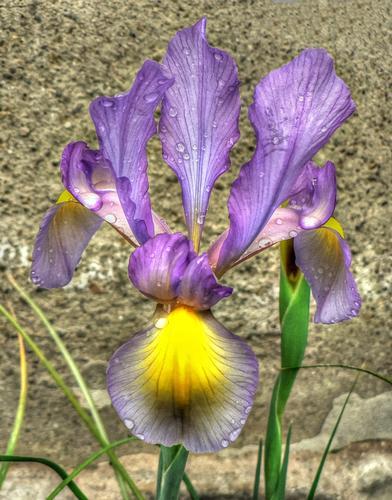 iris (1051 clic)