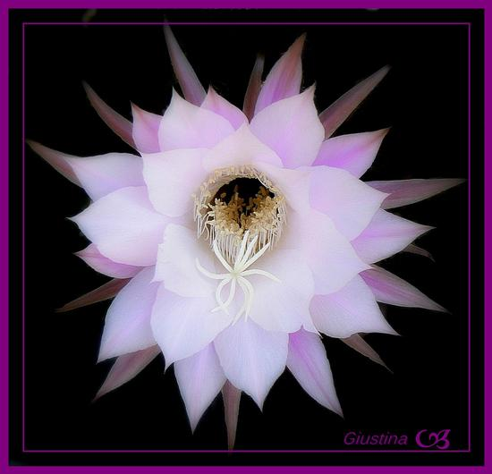 Echinopsis eyriesii - PISTOIA - inserita il 14-Nov-11