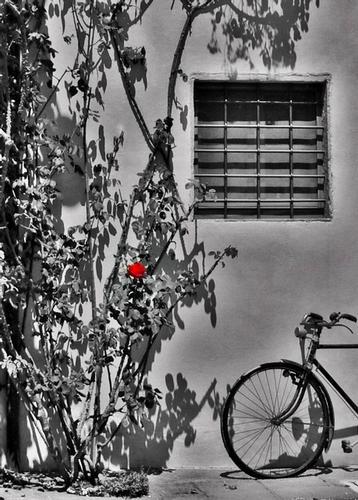 rosa rossa - Montale (1506 clic)