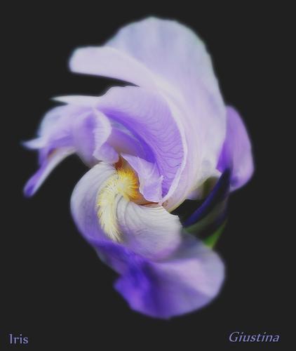 iris - Pistoia (2284 clic)
