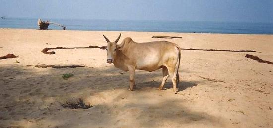 mucca in spiaggia (720 clic)
