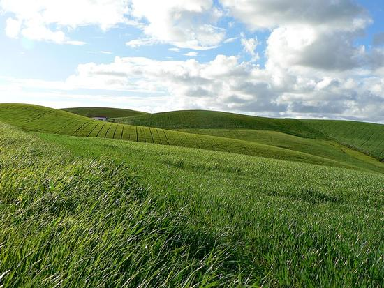 quanto verde intorno a me ...sembra un mare l'erba ... - Scansano (1171 clic)