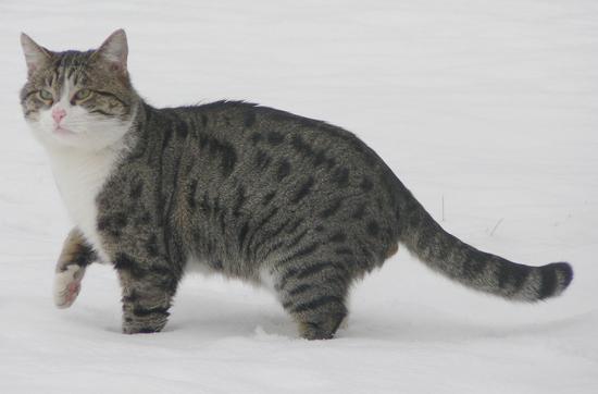Gino il gatto delle nevi - Pistoia (2406 clic)