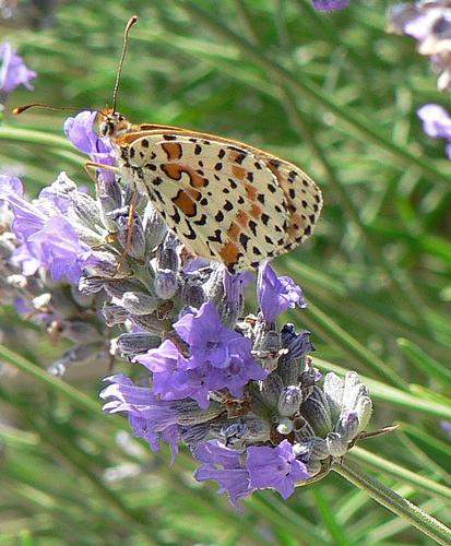 farfalla - Montale (2377 clic)