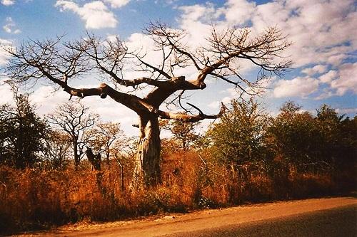 baobab (826 clic)