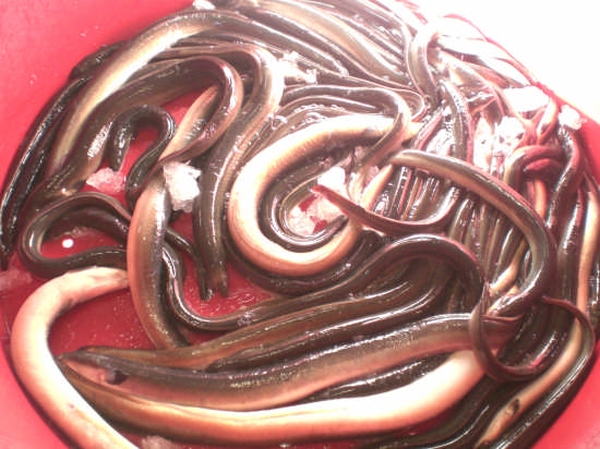 Le famose anguille di Comacchio (5695 clic)