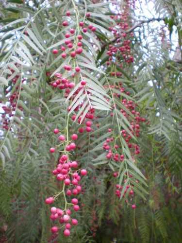 Pianta del pepe - Sibari (7220 clic)