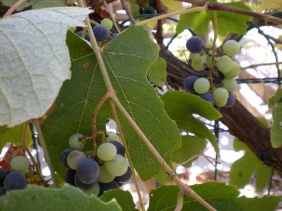 Uva fragola - Sibari (2906 clic)
