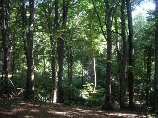 I faggi secolari dell'antica selva cimina - Viterbo (4108 clic)