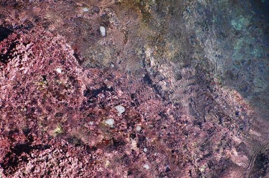 Scogliera.Alghe rosa. - Catania (3942 clic)
