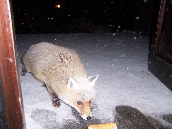 La volpe dell'Etna (3456 clic)