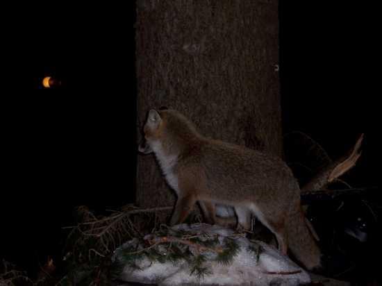 La volpe contempla la luna - Etna (3580 clic)