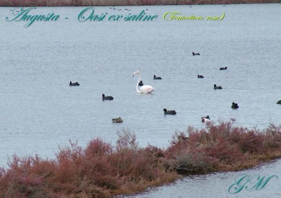 Fenicottero rosa - Augusta (2416 clic)