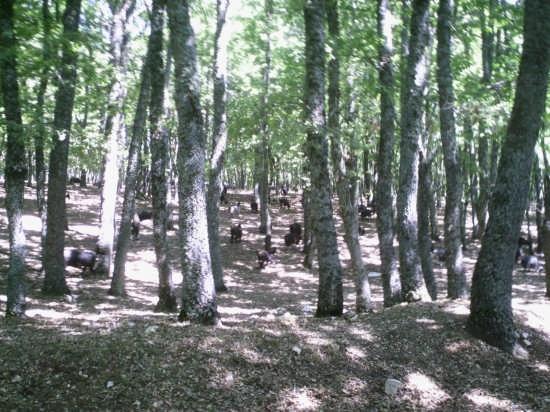 foresta umbra - Gargano (1593 clic)