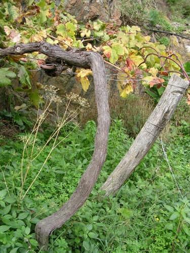 Pianta di vite in autunno - Manarola (3635 clic)