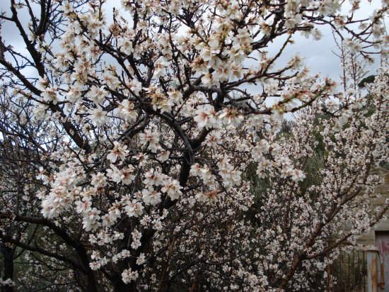 Aspetti del giorno. A valle, il mandorlo in fiore - Nebrodi (3477 clic)