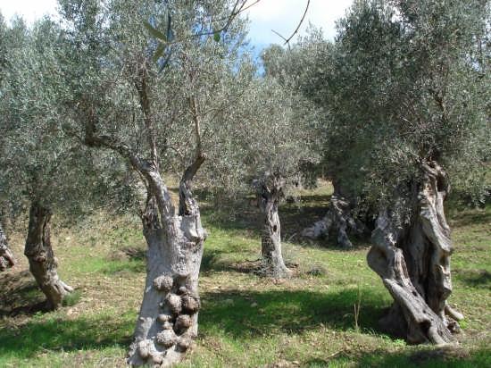 Ulivo corifeo - Nebrodi (3345 clic)