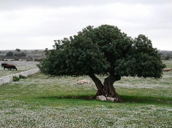 Carrubo - Ragusa (5008 clic)
