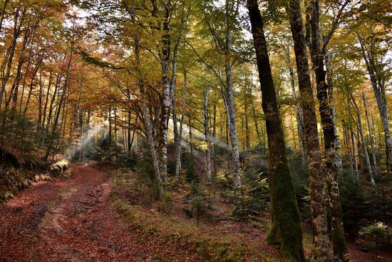 La foresta che si sveglia con le sue magiche luci - Brognaturo (422 clic)