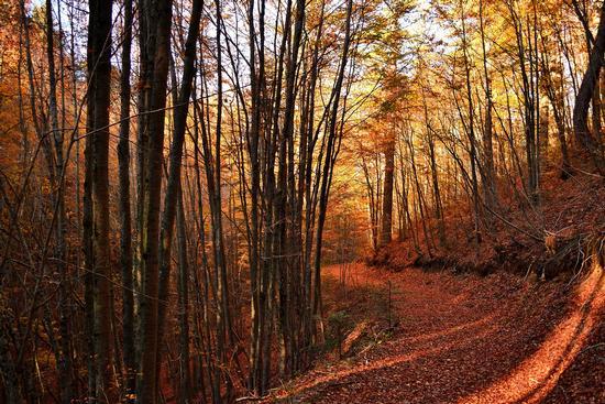 Sentiero nel bosco rosso - Camigliatello silano (455 clic)