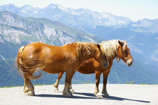 Cavalli. I Pirenei sullo sfondo. (911 clic)
