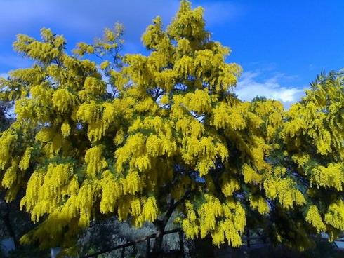 Mimose - Mistretta (3886 clic)