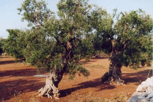 ulivi del Salento-Lecce-Puglia-Italy: a pochi km. dal Centro B&B Florenza - Ugento (9587 clic)
