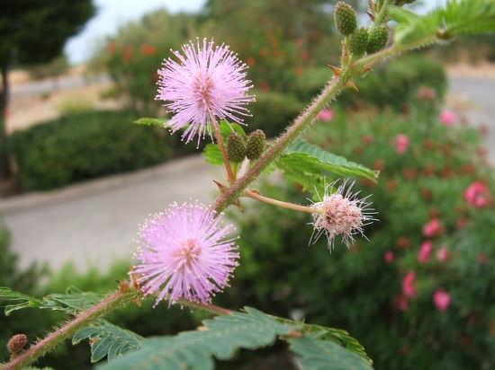 Mimosa pudica - Finale (3131 clic)