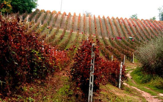 Vendemmia 2010 - Vignale monferrato (2356 clic)