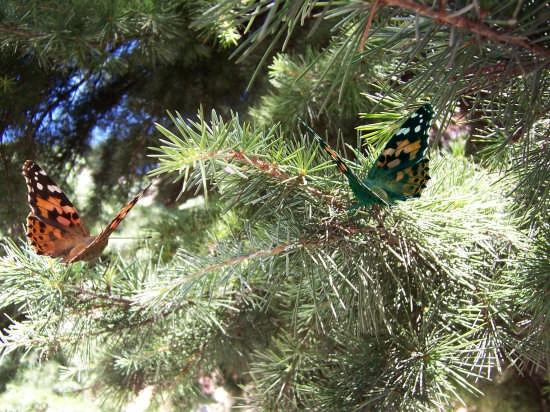 farfalle  - Mussomeli (2346 clic)